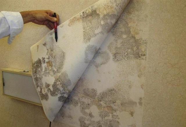 Клеить обои на такую стену – безумие! Поверхность явно «больна» обширным грибковым поражением, и требует обстоятельного «лечения»!